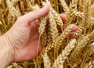 Масло зародышей пшеницы для кожи вокруг глаз от морщин